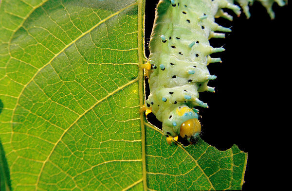 Ailanthus silkmoth (Samia cynthia) caterpillar eating the leaf of an Ailanthus tree. A silk-producing moth. An Indian subspecies is domesticated for silk, used less than silkworms (Bobyx mori) because the silk is not easily unwound from the cocoon