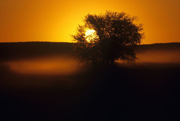 Tree enveloped in dust cloud at sunset Nossob River Valley in Africas first two-countries park, Kgalagadi Transfrontier Park (Kalahari Gemsbok National Park), Cape Province, South Africa