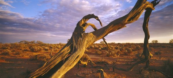 Australian desert landscape at sunset, with dead mallee tree in foreground. Far northern South Australia
