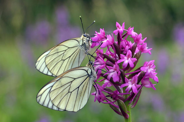 Black-veined white butterflies (Aporia crataegi), feeding on nectar from Pyramidal orchid flower (Anacamptis pyramidalis). France