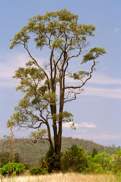 Brigalow (Acacia harpophylla), isolated tree. Southern Queensland, Australia