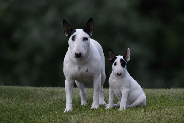Bull terrier (Canis familiaris), young pup with female