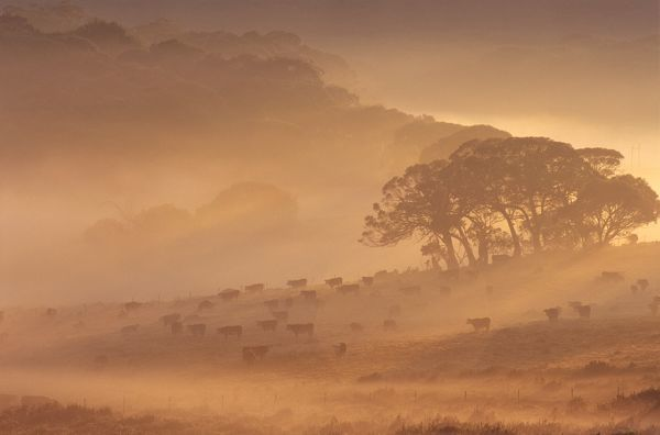 Cattle being mustered in early morning mist. Northeastern Victoria, Australia