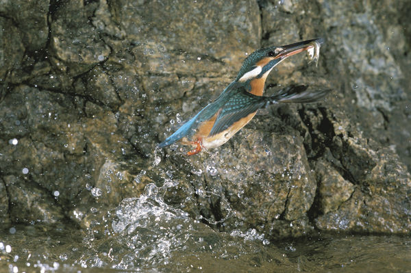 Common kingfisher (Alcedo atthis), preying on Dark chub (Zacco temminckii). Japan