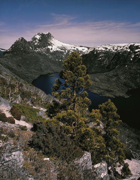 Cradle Mountain from Mount Campbell dusted with snow, with King Billy pine. Cradle Mountain-Lake St Clair National Park, Tasmania, Australia