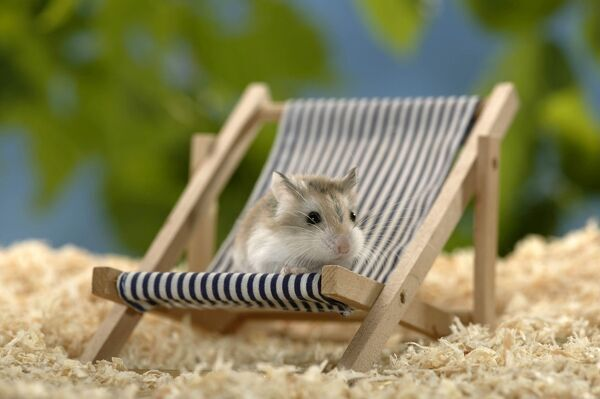 Desert hamster (Phodopus roborovskii), on miniature deck chair. The smallest and fastest hamster; commonly kept as pet. Origin: northern China, Gobi Desert, Inner Mongolia