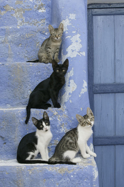 Domestic cat (Felis catus), three-months-old kittens on exterior steps. Cyclades Islands, Greece