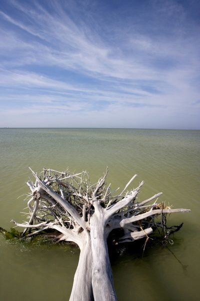 Driftwood in shallows. Fort De Soto Park beach, near Tampa, Florida, USA