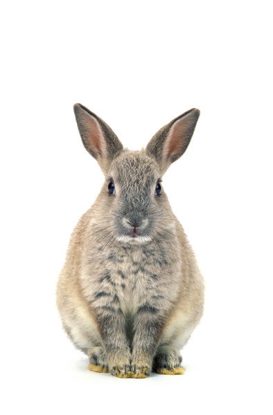 Dwarf rabbit (Oryctolagus cuniculus domesticus), against white background. Studio photograph