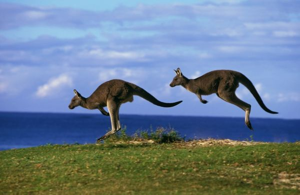 Eastern grey kangaroos (Macropus giganteus), two animals hopping. Murramarang National Park, New South Wales, Australia