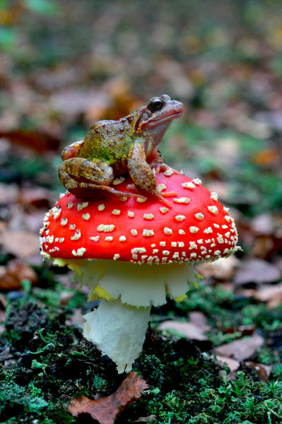 European common frog (Rana temporaria), sitting on a Fly agaric (Amanita muscaria). England
