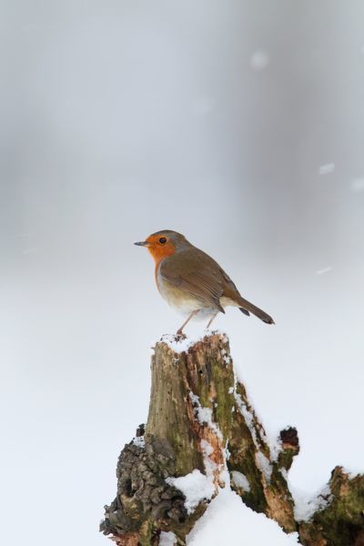 European robin (Erithacus rubecula), on snow-covered stump in falling snow. Suffolk, England