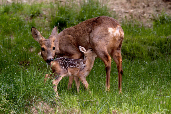 European roe deer (Capreolus capreolus), female and fawn. France