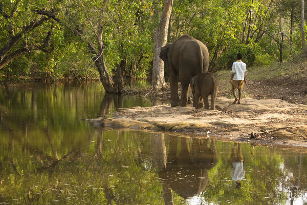 Indian elephant (Elephas maximus indicus), female and baby, with mahout, going to bathe in river. Satpura National Park, Madhya Pradesh, India