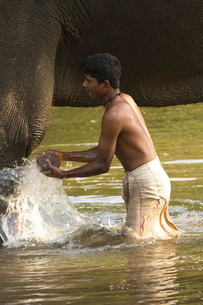 Indian elephant (Elephas maximus indicus), in river, bathing, being scrubbed by mahout. Satpura National Park, Madhya Pradesh, India