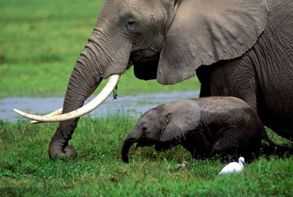 African elephant (Loxodonta africana) adult and baby feeding in swamp, Kenya