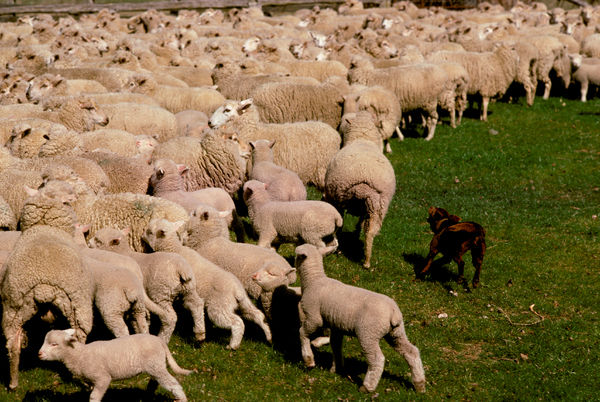Kelpie (Canis familiaris), mustering sheep. New South Wales, Australia