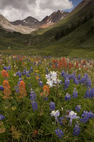 Mass of alpine wildflowers in bloom in Rustler's Gulch, Maroon Bells-Snowmass Wilderness, near Crested Butte, Rocky Mountains, Colorado, USA
