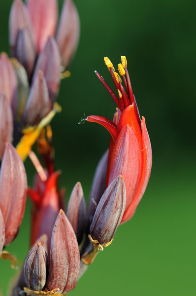 New Zealand flax (Phormium tenax), flower. Origin: New Zealand