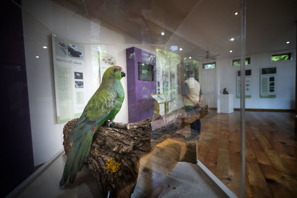 A Norfolk Island green parrot (Cyanoramphus cookii) displayed in the Discovery Centre