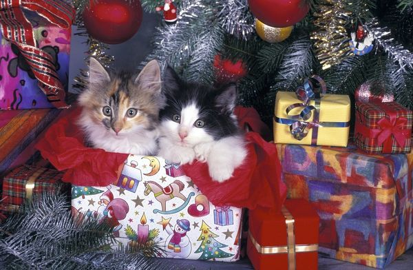 Norwegian Forest cat (Felis catus), twos sitting under Christmas tree surrounded by presents