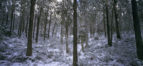 Open forest with winter snowfall. Brindabella Ranges, Namadgi National Park, Australian Capital Territory