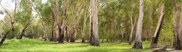 Open woodland with Paperbark trees (Melaleuca sp.), Mount Borradaile (Awunbarna), Arnhem Land, Northern Territory, Australia
