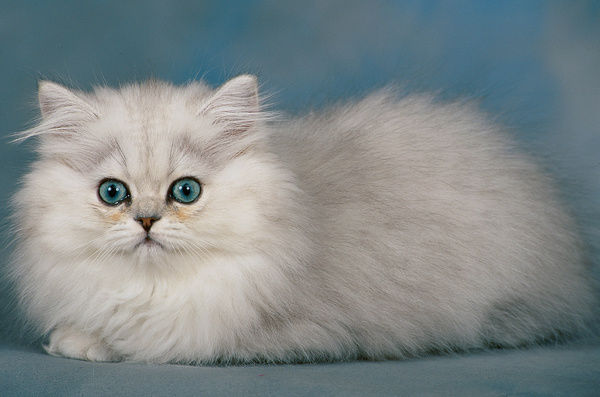 Persian cat (Felis catus), studio portrait of silver shaded kitten