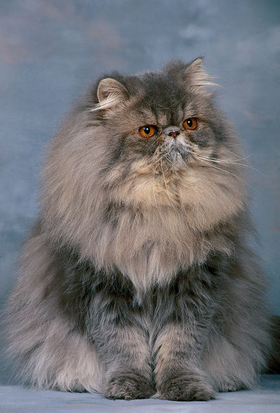 Persian cat (Felis catus), studio portrait of blue smoke variety