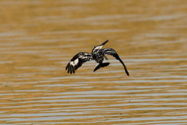 Pied kingfisher (Ceryle rudis), in flight after diving into water, shaking off excess water. Satpura National Park, Madhya Pradesh, India