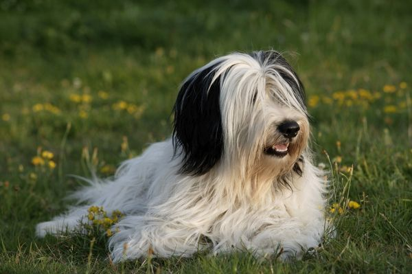 Polish lowland sheepdog (Canis familiaris), lying in a grassy field