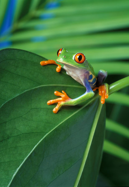 Red-eyed tree frog (Agalychnis callidryas), Origin: Central America