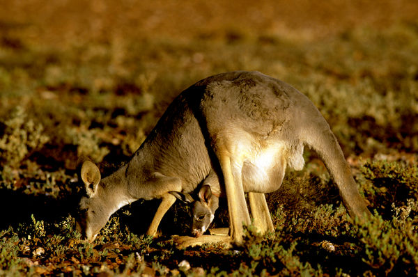 Red kangaroo (Macropus rufus), female with joey in pouch, grazing. Western New South Wales, Australia
