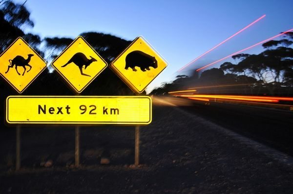 Road signs warning drivers to look out for camels, wombats and kangaroos over the next 92 km. Eyre Highway, South Australia