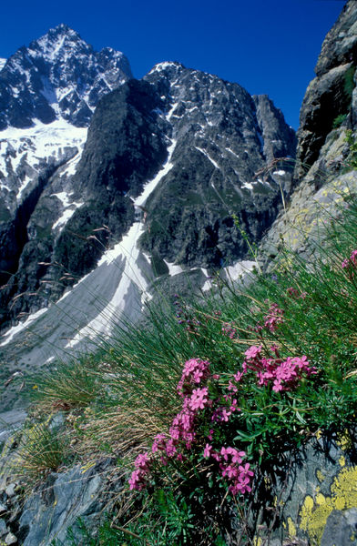 Rock soapwort (Saponaria ocymoides), and mountain scenery with Mont Pelvoux behind, 3946 m. National Park of the Ecrins, Pelvoux, French Alps, France