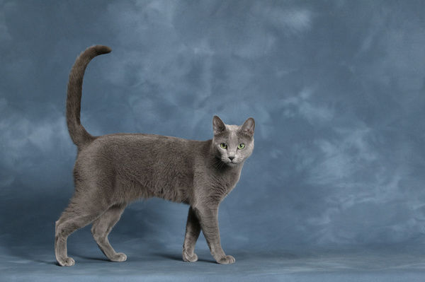 Russian Blue cat (Felis catus), studio portrait, standing with tail up