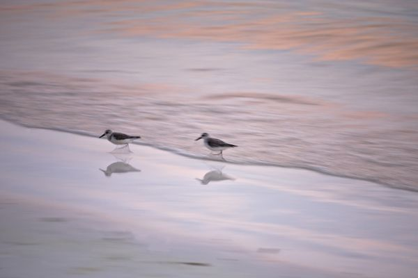 Sanderlings (Calidris alba), reflected in the wet sand at the edge of the Indian Ocean. Praslin Island, Seychelles