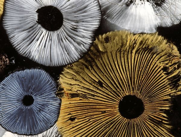 Selection of mushrooms, undersides showing spores and gills. Studio photograph