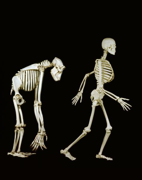 Human and gorilla skeletons have the same basic structure