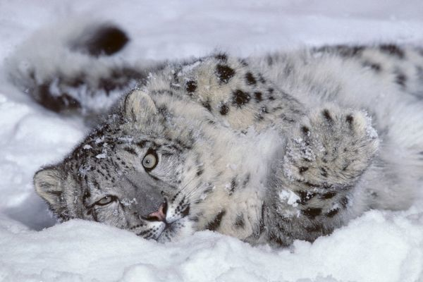 Snow leopard (Uncia uncia), male six-month cub in snow. Controlled situation. Mountains of north Asia