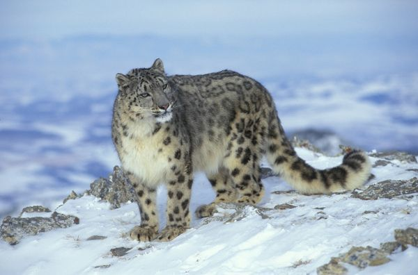 The Snow Leopard is a descendant of the wild cat and panther families. Native to the rugged and snowy highlands of Central Asia, the endangered snow leopard is particularly found in the Himalaya region