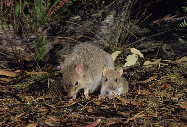 Tasmanian bettong (Bettongia gaimardi), female with joey beside her. Tasmania, Australia