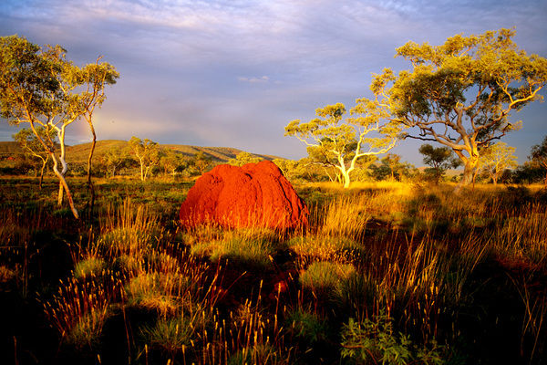 Termite mound, glowing red in late afternoon light. Karijini National Park, Pilbara region, Western Australia