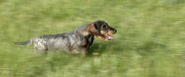 Wire-haired dachshund (Canis familiaris), running through green field, panting