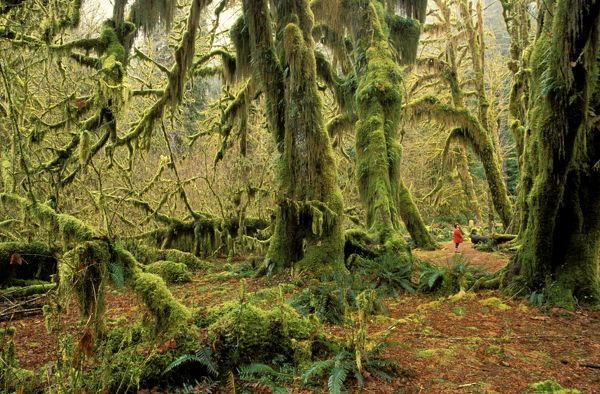 Woman in Hoh Rainforest dwarfed by Bigleaf maples (Acer macrophyllum) draped in Spikemoss (Selaginella). Olympic National Park, Washington State, USA
