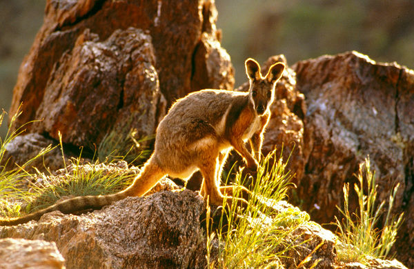 Yellow-footed rock-wallaby (Petrogale xanthopus), Australia