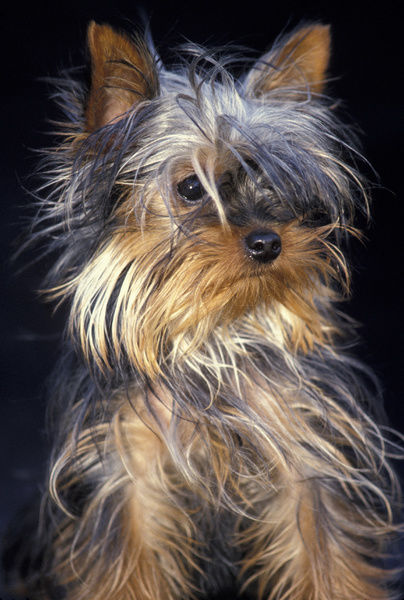Yorkshire terrier (Canis familiaris), portrait. France