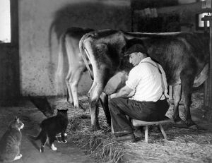 1920: cats waiting for milk during milking time