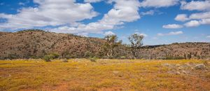 Abundant yellow wildflowers and shrubland on the Wortupa Loop Track,