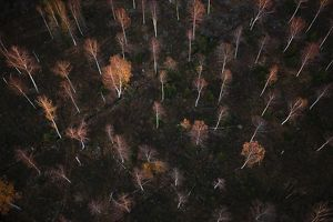 Aerial photograph of Birch forest in autumn, (Betula sp.).